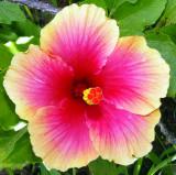 Saipan Flower