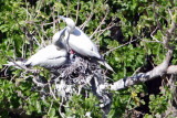 Nesting Red Footed Boobys