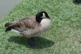 Cackling Goose: Branta hutchinsii