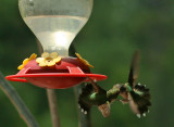 Ruby-throated Hummingbirds- 2007