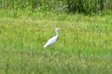 Cattle Egret: Bubulcus ibis