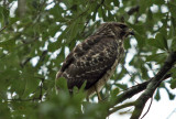 Red-shouldered Hawk: Eastern Juvenile