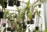 Dendrobiums hanging - Phal type IMG08219