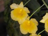 Dendrobium aggregatum #2 IMG10083