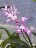 Dendrobium kingianum 'Roy Gill' IMG07387