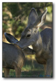Mothers care : Grand Canyon (Deer)