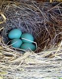 Little Blue Eggs