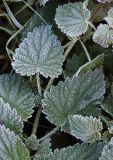 3593-Frosty leaves-2.jpg