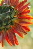1876 - Sunflower-1.jpg