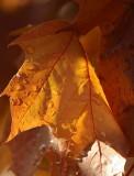 DSC_4216-Rainy Leaves-1.jpg