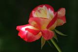 IMG_3150 roses.jpg