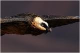 Lammergeier (Bearded Vulture)