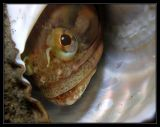 Sarcastic Fringehead peering from his shell