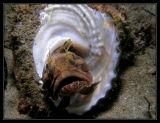 Sarcastic Fringehead in pretty shell