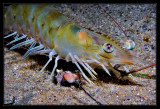 Canyon Shrimp