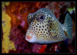 Spotted Trunkfish, AKA Hotlips