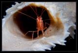 Peppermint Shrimp Roll