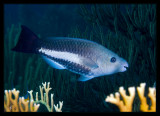 Queen Parrotfish, Initial Phase