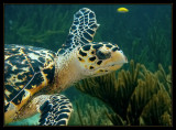 Another Hawksbill