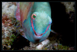 Parrotfish being cleaned and damn happy about it