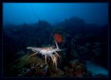 Huge Caribbean Spiny Lobster