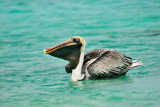 Bonaire Pelican