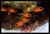Anemones, Bridle Cardinalfish and a Two Claw Shrimp