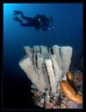 Branching Vase Sponge, Sponge Brittle Stars & Rick