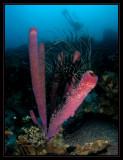 Purple Stove-Pipe Sponge, Black & White Crinoid and Rick