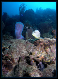 Azure Vase Sponge, Spotted Moray and a Foureye Butterflyfish