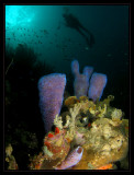 Group of Azure Vase Sponges & Rick
