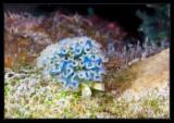 Lettuce Sea Slug , another view