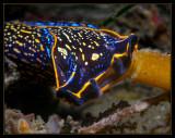 Navanax-sea hare-they prey on nudibranchs