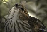 Éperviers de Cooper / Cooper's Hawk