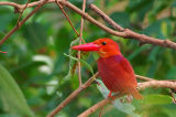 Ruddy Kingfisher - Male ( Halcyon coromanda )