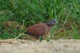 Red Collared Dove ( Streptopelia tranquebarica  )