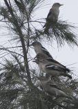 Purple-backed Starling (Sturnus sturninus)