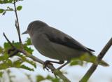 White shouldered Starling ( Sturnia sinensis )