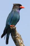 CORACIIFORMES: Coraciidae( Dollarbird;Roller  )