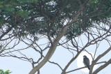 Peregrine falcon??