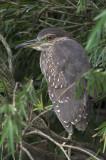 Black-crowed Night Heron, Juvenile