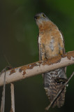 Rusty-breasted Cuckoo (Cacomantis sepulcralis)