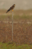 Common Kestrel ( Falco tinnunculus )