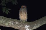 Buffy Fish-Owl, Juvenile