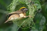 Baya Weaver ( Ploceus philippinus ) , Male
