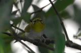 Zosteropidae ( White-eyes )
