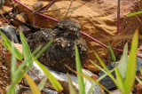 Savanna Nightjar ( Caprimulgus affinis )