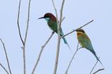 CORACIIFORMES: Meropidae ( Bee-eaters )