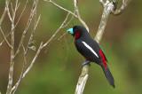 Black-and-red Broadbill ( Cymbirhynchus macrorhynchos )