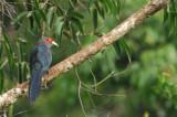 Chestnut-bellied Malkoha ( Phaenicophaeus sumatranus )